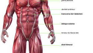 5k8nh-planche_anatomique_des_abdominaux_251