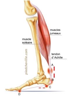 musclesmolletfinal